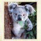Adoptowaliśmy 3 koale